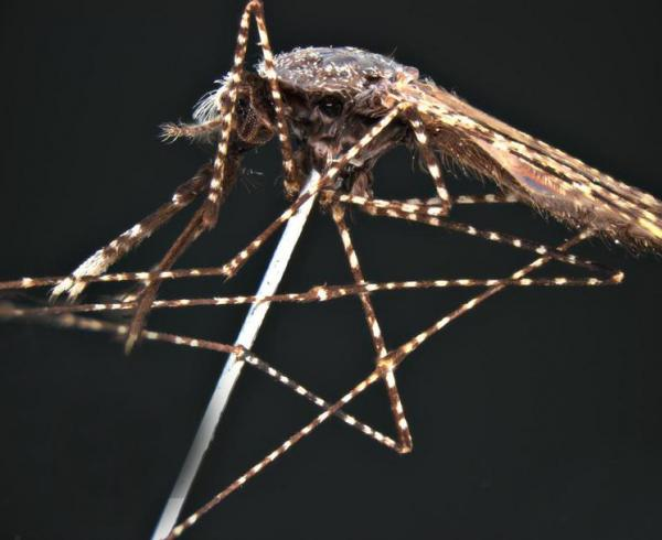 Anopheles faruti mosquito, malaria vector