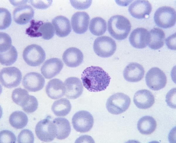 Plasmodium vivax, malaria parasite