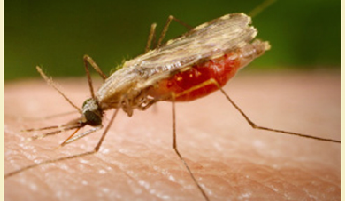 Anopheles atroparvus mosquito, malaria vector