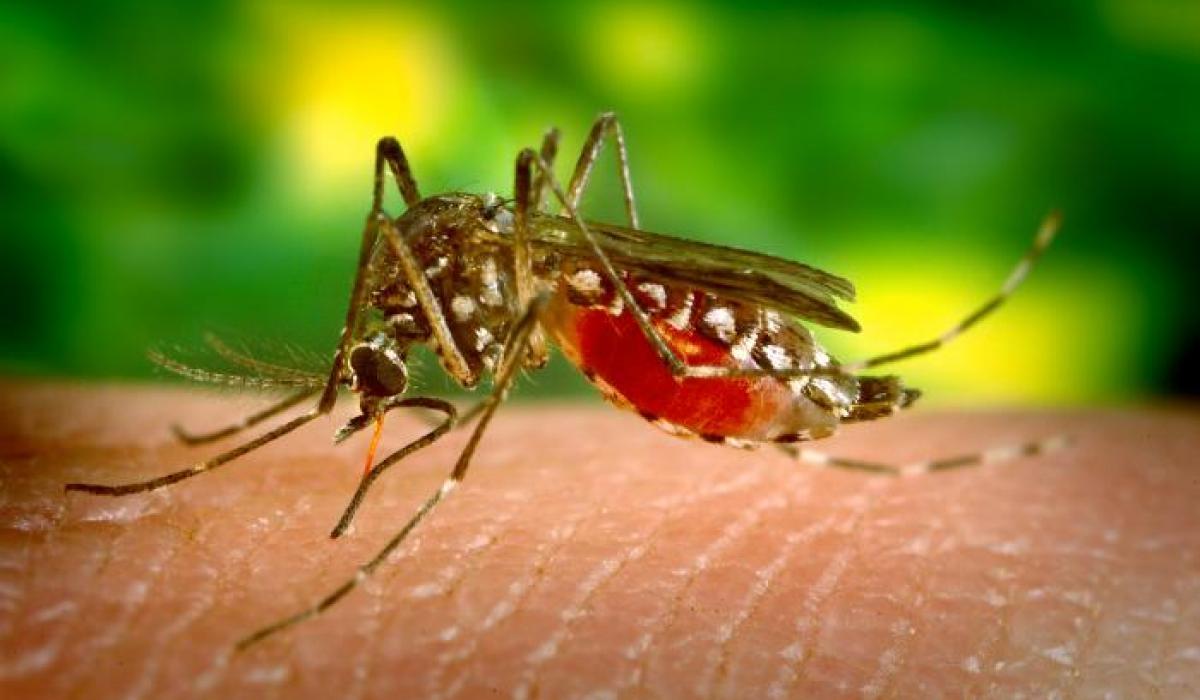 Anopheles mosquito, malaria vector