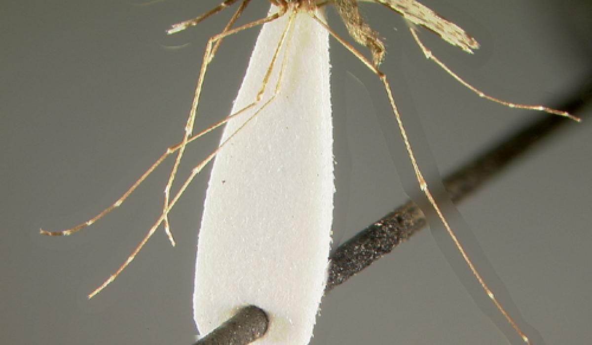 Anopheles subpictus mosquito, malaria vector